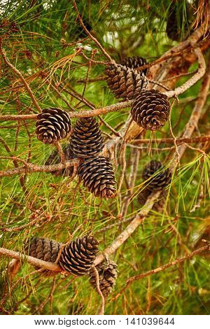 Fir branch with pine cones. Vertical orientation. Shallow depth of field