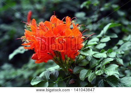 Pyrostegia venusta (flamevine, orange trumpetvine) flowers cluster on leaves background. Bright flower from Brazil