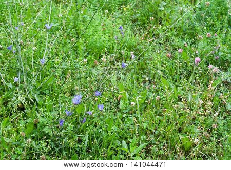 Green grass, clovers and chicory with water drops on it in rainy day. Grass background.