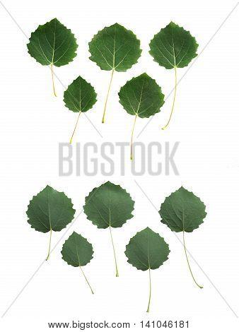 Aspen (Populus tremula) leaves isolated on white background