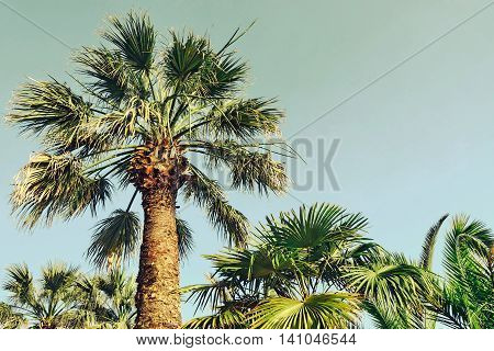 Tall Alone Coconut  Palm Tree On The Blue Sky Background