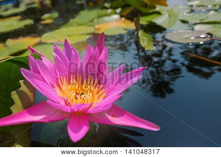 Lotus flower in pink purple violet color. bee insect in pollen with green leaves in nature water pond. close up, light orbs