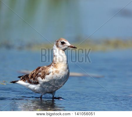 Juvenile Seagull On Water