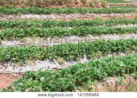 Strawberry plot row of the organic farm on the high mountain in Thailand.