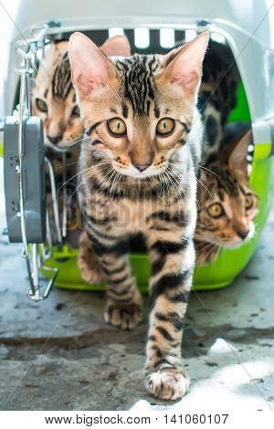 Bengal cat stepping out from pet carrier