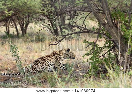 Africa. Namibia. Leopard