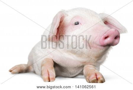 Smiling piglet laying down - isolated image