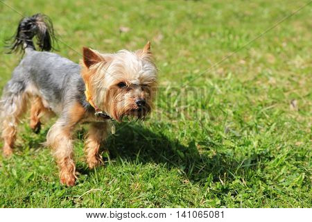 Little cute Yorkshire Terrier Dog on the grass yorkshire
