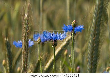 Cornflower (cyanus Segetum Hill)