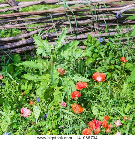 Wattle Fence And Meadow With Red Poppy Flowers