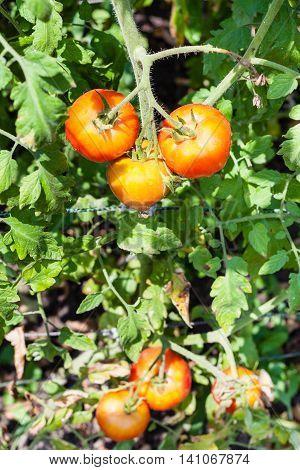 Ripe Tomatoes On Bush In Garden In Sunny Day