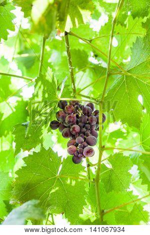 Cluster Of Ripe Dark Red Grapes On Vine