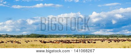 Herd Of Cows Grazing In Agriculture Field