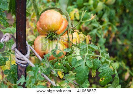 One Big Tomato On Bush In Garden After Rain