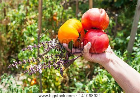 Farmer Hand Holds Ripe Tomatoes And Basil Herb