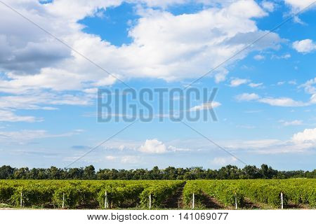Blue Sky With White Clouds Over Vineyards, Taman