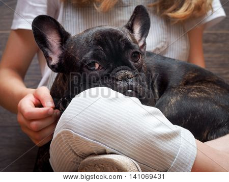 Dog on the girl's lap. Black puppy purebred french bulldog