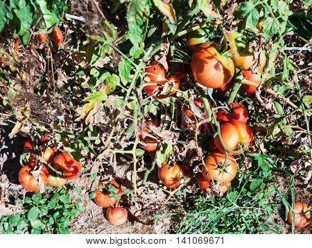 Ripe Red Tomatoes On Wooden Stake In Garden