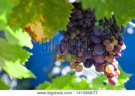 Cluster Of Dark Red Grapes On Backyard