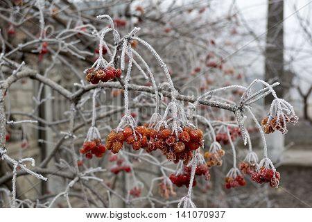 Ruddy bunch viburnum Ukrainian early frosty morning.