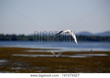 Larus argentatus in the natural environment the Danube Delta Romania