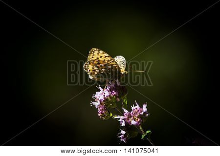 a long wing pollinating a purple flower