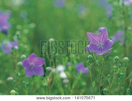 Beautiful purple bellflower