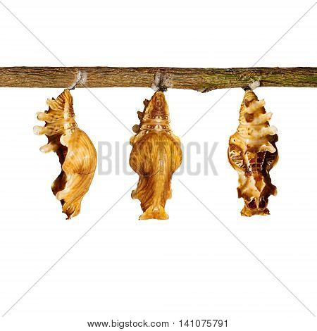 Isolated Chrysalis Of Common Rose Butterfly Hanging On Twig