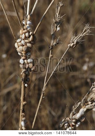 Small Snails Clinging To The Dried Plant Near The Beach