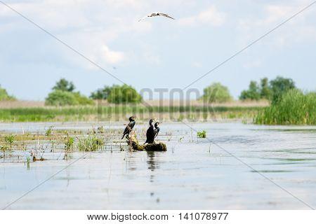Cormorant family in Romania Danube Delta, lake
