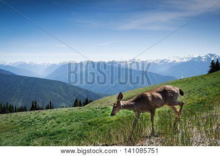young deer in motion running in mount of Hurricane Ridge Washington State USA