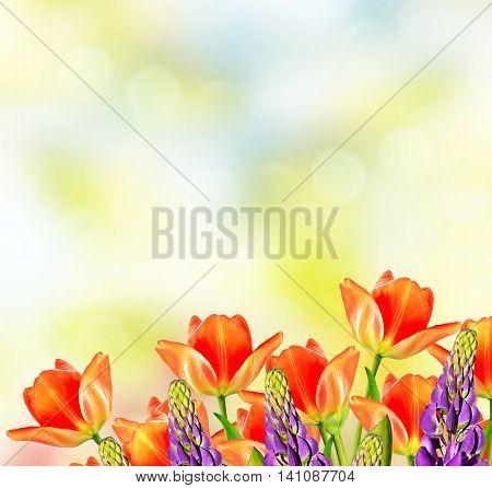Spring landscape. beautiful flowers tulip. lupine. nature