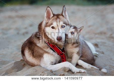 Portrait of the female husky with puppy at summer time