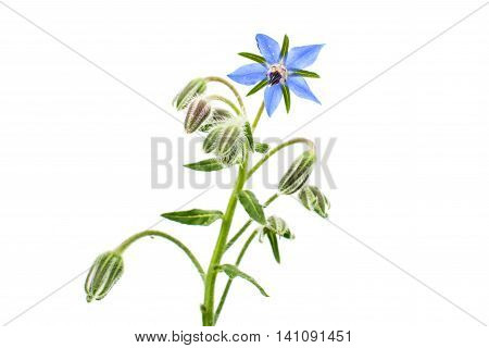 borage flower homeopathy on a white background