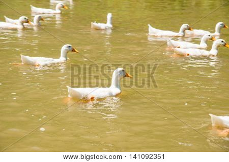 farm nature white duck swimming on pond or lake. rural at Vietnam