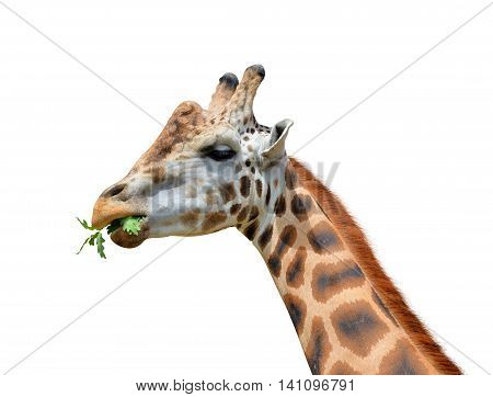 Head of Giraffe isolated on white background