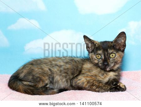 Eight week old Torbie Tabby Kitten laying on a pink blanket with blue sky background with clouds. copy space
