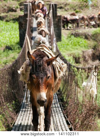 Caravan of mules on rope hanging suspension bridge in Nepal