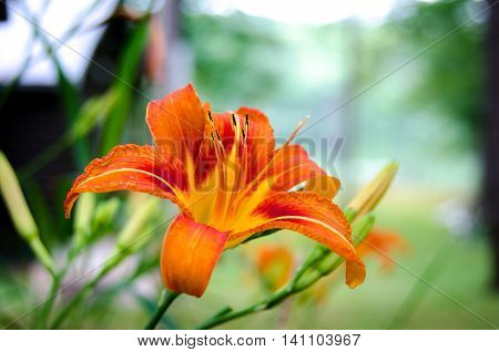 Tiger lily flower in full fiery orange bloom with stamen on a late summertime morning.