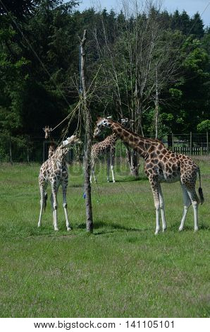 A group of giraffe in an enclosure