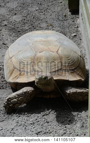 A view of a giant tortoise in an animal park