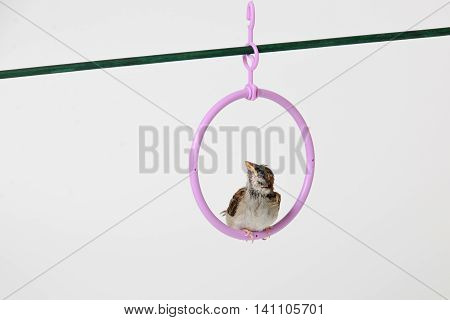 Nestling sparrow  sits in the ring isolated on white background