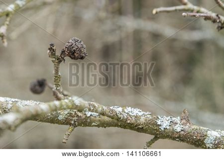 Closeup of a dried, dehumidified apple on a apple tree in the winter
