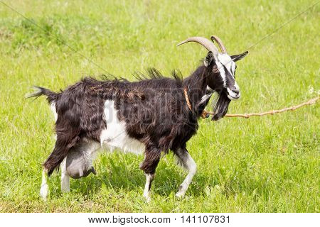 Goat on a rope grazing on grass during the day