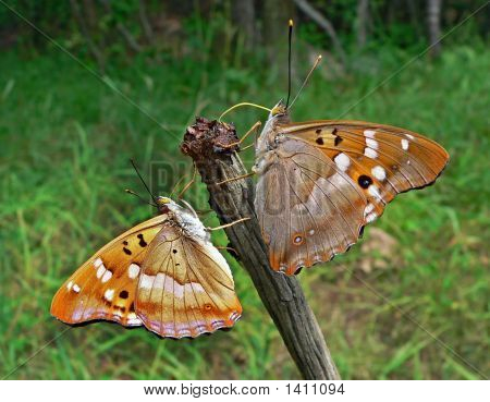 Schmetterlinge (Apatura Ilia Ussuriensis)