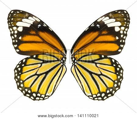 Butterfly wing isolated on white background common tiger butterfly Danaus Genutia monarch butterfly File contains a clipping path