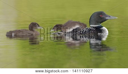 Common Loon Chick Watching Its Sibling As It Rides On Parent's Back