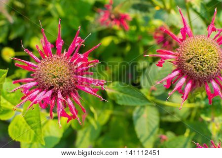 isolated bergamot flowers with red petals closeup on an indistinct green background