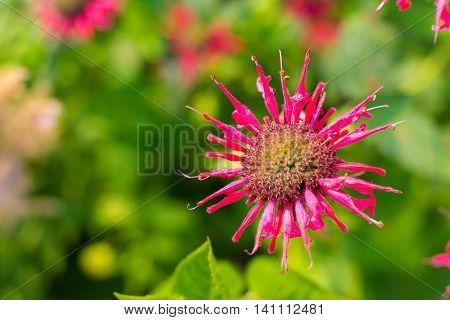 one isolated bergamot flower with red petals closeup on an indistinct green background