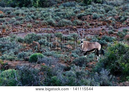 Oryx - Gemsbok In The Field - Wildlife Park - Beaufort West